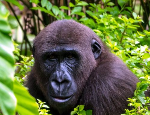 4 Days Gorilla Adventure 2020 Safaris