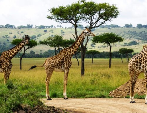 5 Days Masai Mara,Lake Nakuru And Naivasha Budget Safaris