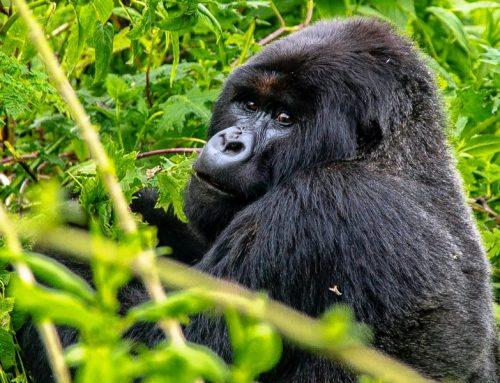 03 Nights Rwanda Classic Primates Trek Package