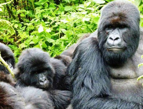 The Gorilla Safaris
