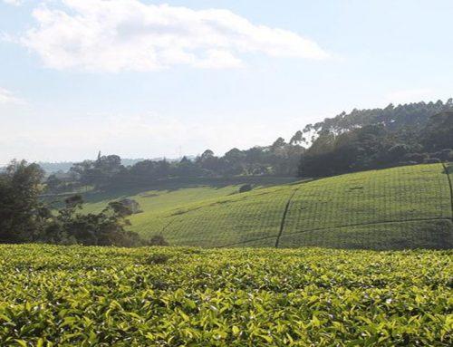 A Day Visit to Kiambethu Tea Farm